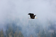 An adult bald eagle (Haliaeetus leucocephalus) flies against a foggy hillside in the North Cascades near Deming, Washington. Hundreds of bald eagles spend part of the winter there to feast on spawned-out salmon.