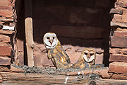 A pair of barn owlets(Tyto alba)  surveys the world from its ledge nest inside the Abo Mission Ruins, Salinas National Monument, New Mexico.