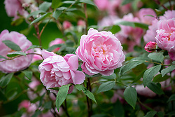Rosa 'Mortimer Sackler' AGM syn. 'Ausorts'