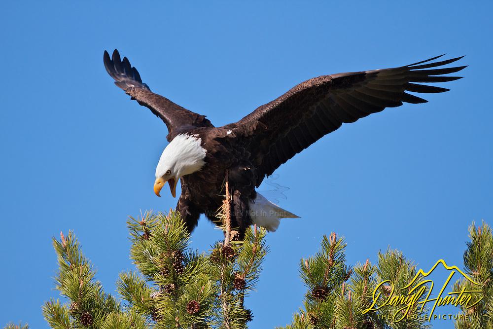 Bald Eagle, Grand Teton National Park, Wyoming