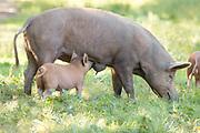 Tamworth pigs roaming the Knepp Estate. Sussex, UK.