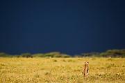 The back of a sitting cheetah  (Acinonyx jubatus) against an intense blue sky watching a dark storm approach,  Ndutu, Ngorongoro Conservation Area, Tanzania, Africa