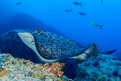 Taeniura meyeni, Marmor Stachelrochen, Marble Ray or Round Ribbontail Ray, Insel Cocos, Costa Rica, Pazifik, Pazifischer Ozean, Cocos Island, Costa Rica, Pacific Ocean