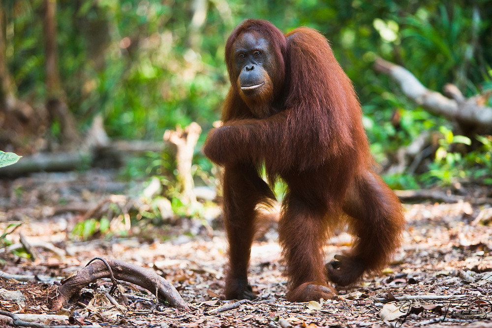 A female orangutan ( Pongo pygmaeus ) walks up right on her hind legs in the forest of Kalimantan, Borneo, Indonesia