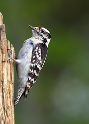 A tiny Hairy Woodpecker perched on a bare tree trunck