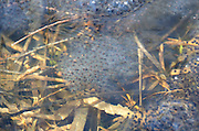 Masses of Wood Frog eggs under a very thin skim of ice in early spring, Acadia National Park, Maine.
