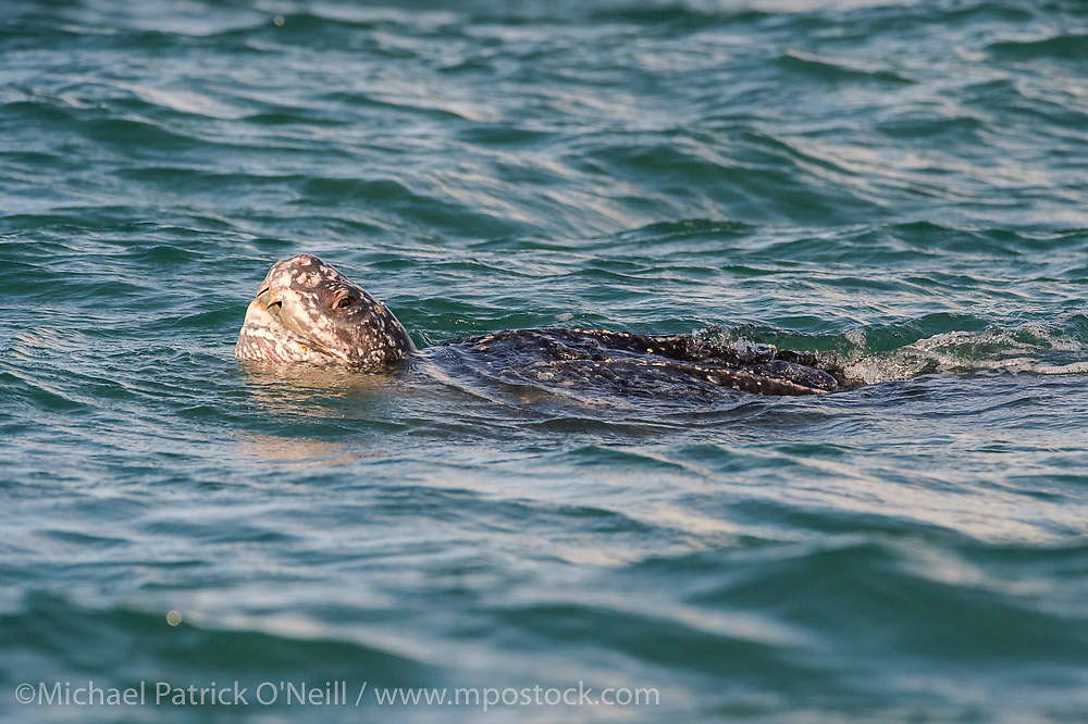 A female Leatherback Sea Turtle, Dermochelys coriacea, breathes on the surface of the Caribbean Sea offshore northern Trinidad prior to nesting in the evening.