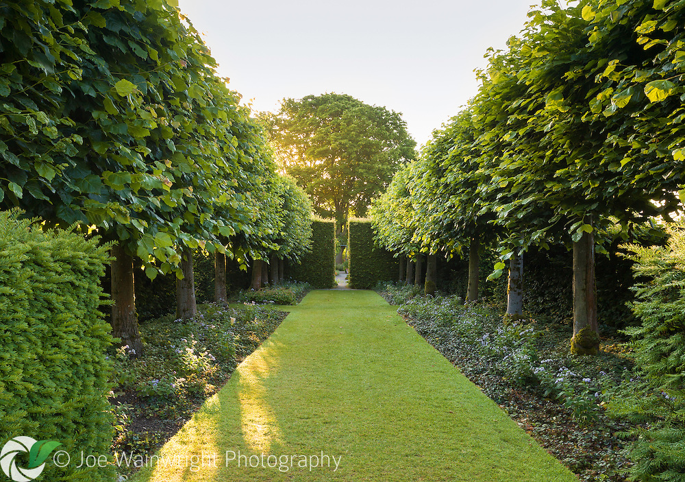 A view of the Lime Allee at Wollerton Old Hall Garden, Shropshire. It provides restful and cool colours on the way to the hot hued Lanhydrock Garden, which can be accessed through the gap in the hedge.  the trees are Tilia platyphyllos 'Rubra', Photographed just after dawn in July.