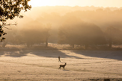 © Licensed to London News Pictures. 04/11/2020. London, UK. A stag walks through the mist and frost this morning in Richmond Park, South West London as temperatures dropped to -2 overnight. However, the rest of the week will be sunny and mild as the national lockdown begins at midnight tonight forcing millions of people to stay at home and shops and restaurants to close. Last Saturday, Prime Minister Boris Johnson announced new Covid-19 lockdown restrictions for England from Thursday (tomorrow) with pubs, restaurants, non-essential shops and gyms to close. Photo credit: Alex Lentati/LNP