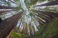 Wide Angle Looking up from a Coastal Redwood Forest. Image taken with a Nikon D3x and 14-24 mm f/2.8 lens (ISO 100, 14 mm, f/16, 2.5 sec). Raw image converted using Adobe Camera Raw 6.2 (ldefault). HDR of 5 images (+2, +1, 0, -1, -2 EV) using Photoshop CS5 HDR Pro (photorealistic).