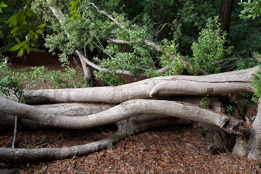 Silverlike bark of tree limbs at the edge of the redwood forest, Santa Cruz, California