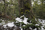 Tree trunk in Southern Beech Forest