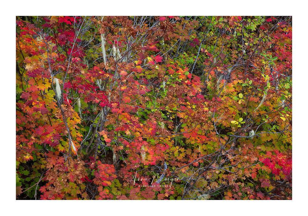 Vine Maples in stunning autumn colours, dripping with lichens in Central Oregon