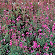 Wildflower Fireweed blooming along shores of Churchill, Manitoba. Canada.