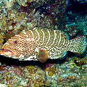 Caribbean Sea Bass/Grouper