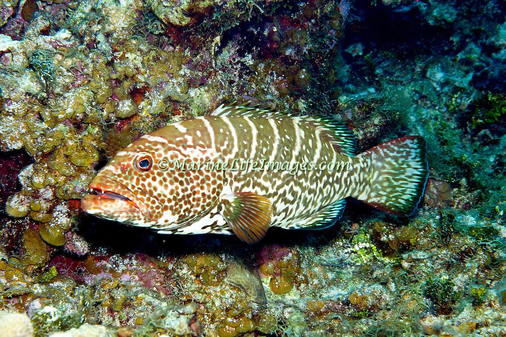 Tiger Grouper inhabit reefs in Tropical West Atlantic; picture taken Little Cayman.