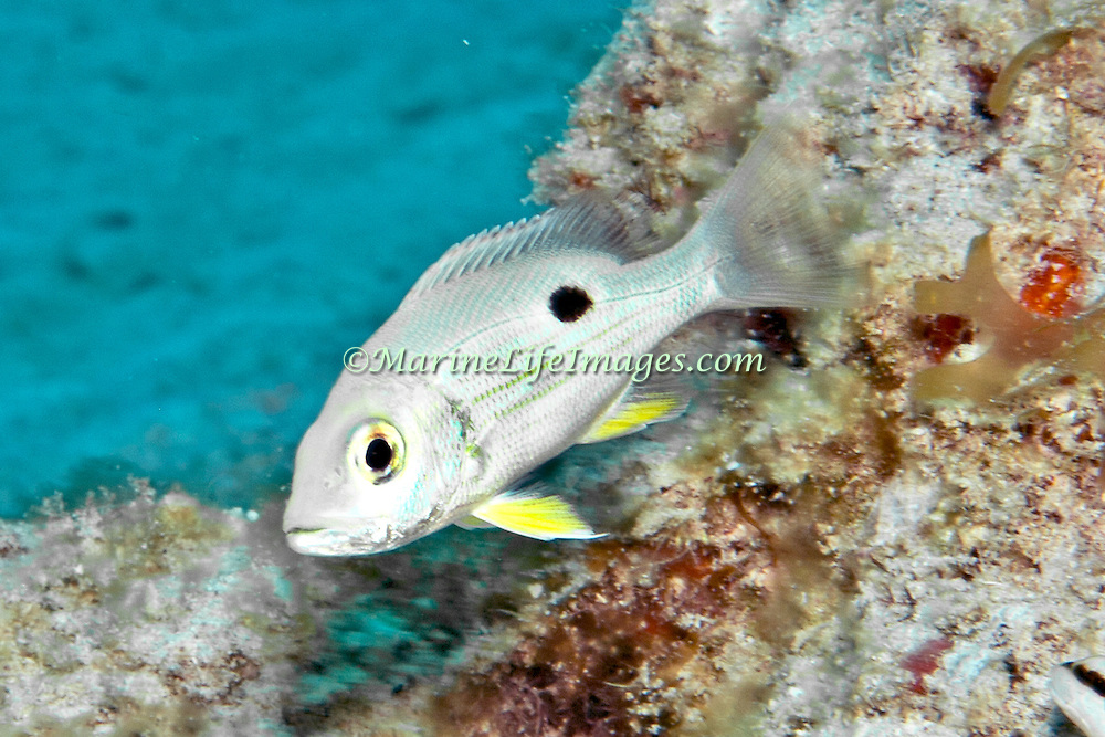 Lane Snapper, juvenile, inhabit shallow and mid-range reefs in Tropical West Atlantic; picture taken Little Cayman.