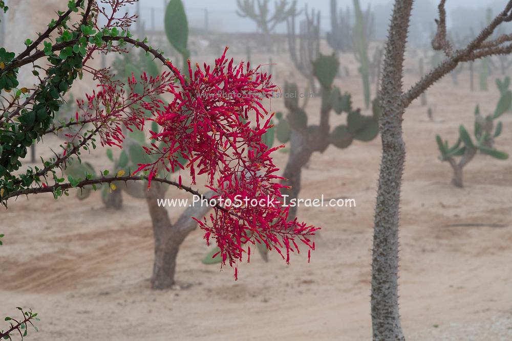 Flowering red succulent plant