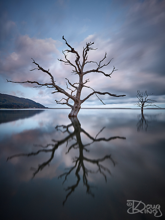 Skeletons of salt poisoned trees rising from the still waters of high tide over Porlock Salt Marsh at dawn.