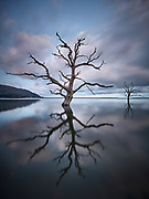 Skeletons of salt poisoned trees rising from the still waters of high tide over Porlock Salt Marsh at dawn.