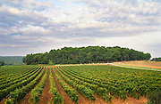 Vineyard. Chateau Mont-Redon, Chateauneuf-du-Pape. Rhone Valley, France
