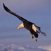 Bald Eagle (Haliaeetus leucocephalus) adult in flight.