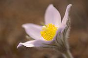 Blossom of the prairie crocus (Anemone patens) <br />Mars Hill Wildlife Management Area<br />Manitoba<br />Canada