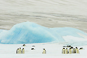 Emperor penguin, Aptenodytes forsteri, adults walking & tobogganing on fast ice, Snow Hill Island, Erebus and Terror Gulf, Antarctic Peninsula, Antarctica