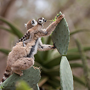 A ring-tailed lemur and her baby feed on a prickly pear cactus in the gardens of Berenty Reserve, Madagascar.