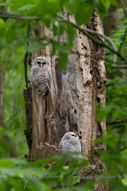 Baby Barred Owlets emerge from their nest in Nashville, TN