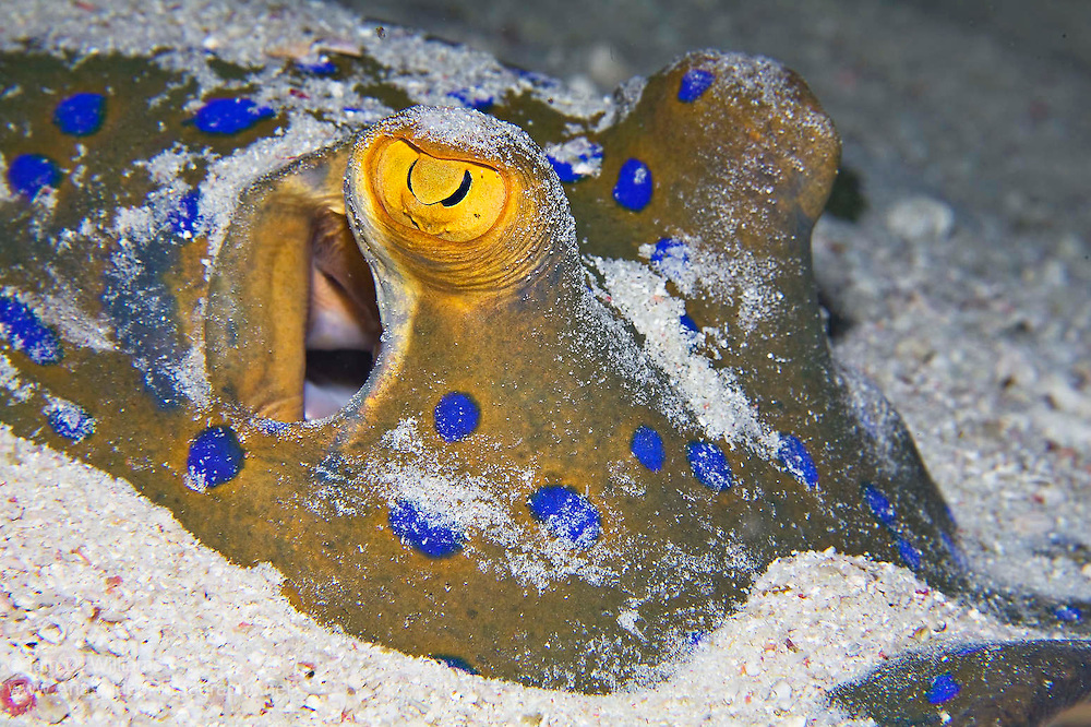 Blue-spotted stingrays are usually nocturnal and spend much of the daylight hours lying beneath the sand or under coral ledges and overhangs.  One of the more colourful rays, the blue-spotted stingray possesses a barbed tail and a large eye