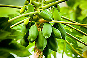 """28 JUNE 2011 - CHIANG MAI, THAILAND:  Unripe papaya in a tree in Chiang Mai, Thailand. Unripe papaya is the key ingredient in """"som tam,"""" Thailand's spicy papaya salad, a staple of northern and northeastern Thailand.  PHOTO BY JACK KURTZ"""