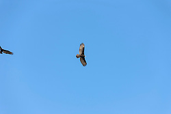 Lesser yellow-headed vulture (Cathartes burrovianus) flying in the blue sky, Orinoco Delta, Venezuela
