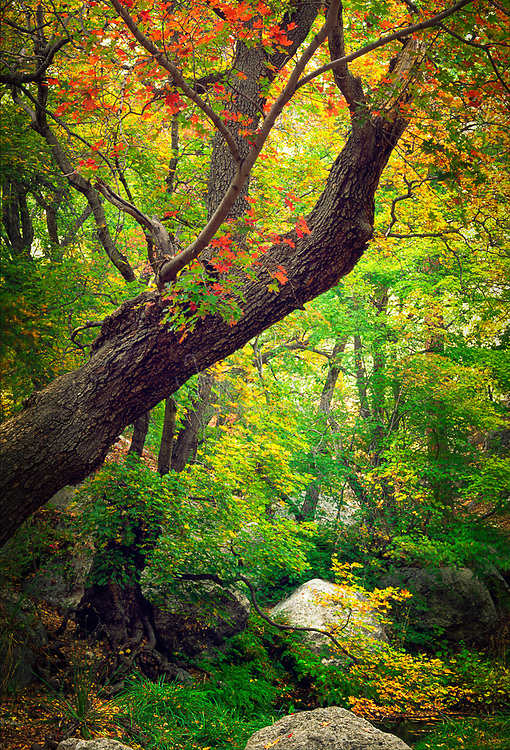 Maples trees at Smith Springs in Guadalup National Park, Texas