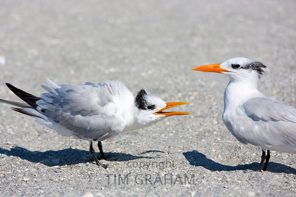 Pair of Royal Terns squabble in conversation, one talking and the other listening, on the beach at Captiva Island, Florida USA
