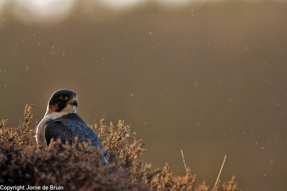 A Peregrine Falcon is sitting in the heather with a prey feeding in the Scottish Highlands in the Cairngorms National Park
