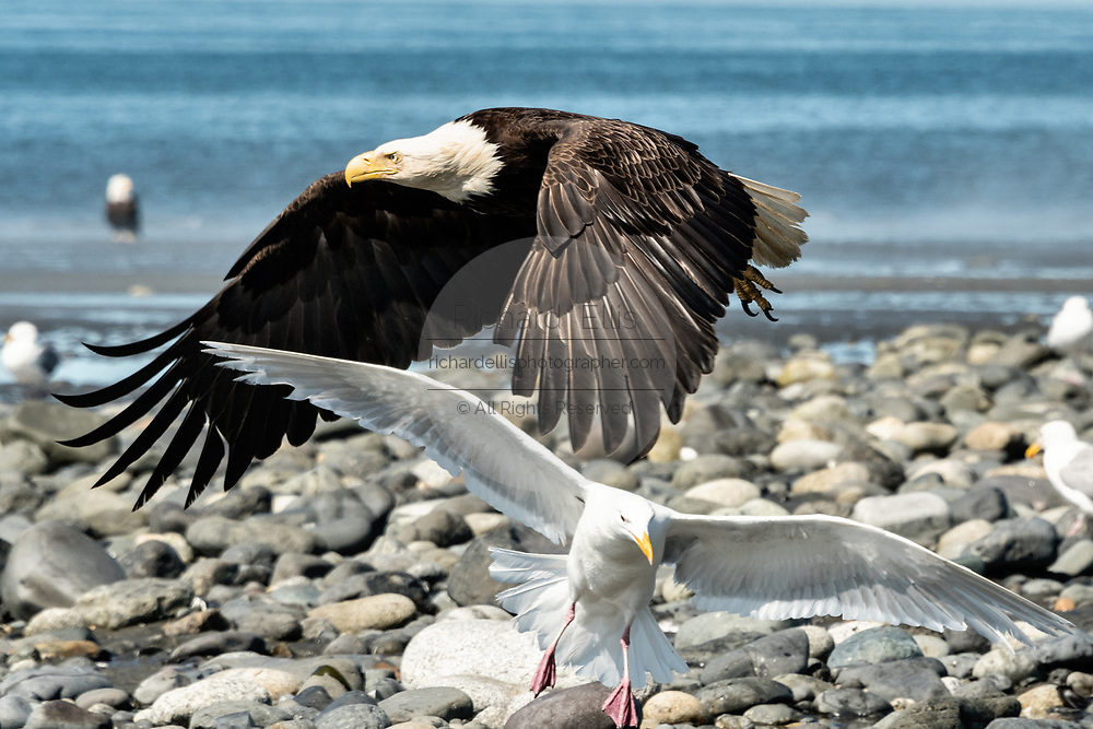 A bald eagle startles a Glaucous Gulls as it flies along the beach at Anchor Point, Alaska.