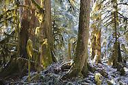 forest landscape, cedar, doug fir and moss with snow, Mount Rainier near the Carbon River, Washington