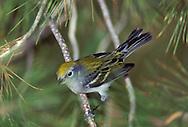 Chestnut-sided Warbler - Dendroica pensylvanica - Immature