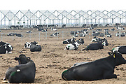 Cows seen at Austasia's No. 4 dairy farm of Austaisa in Dongying, Shandong Province, China on 31 October, 2013. By the end of 2014, the pan-Asian diary group will have invested more than $US300 million in China and have around 55,000 cattle in its herd. The rapidly increasing dairy demand from China is pushing global prices higher, especially after food safety scandals have wrecked consumer confidence in local Chinese producers, spelling ample opportunity for global producers.