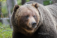Large male grizzly bear with bighorn sheep hair on his face, Banff National Park, Alberta, Canada