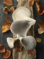 Fresh picked edible grey oyster mushrooms (Pleurotus)