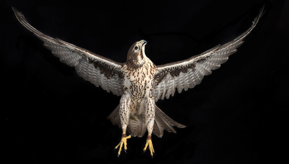 Prairie Falcon (Falco mexicanus), captive