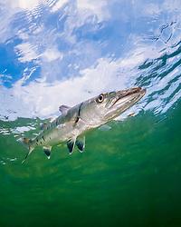 great barracuda, Sphyraena barracuda, Lewis Cut, Biscayne National Park, Florida, USA, Caribbean Sea, Atlantic Ocean