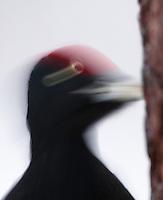 KOROUMA; POSIO; FINLAND 2009; EUROPE; WINTER; BIRD PHOTOGRAPHY; PHOTO HIDE; WILD BLACK WOODPECKER; Dryocopus martius