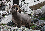 """Rocky Mountain Bighorn Sheep. Pecos Wilderness, New Mexico<br /> <br /> AVAILABLE AS:<br /> <br /> Size 20"""" x 16"""" (50.8cm x 40.6cm approx)*<br /> Edition of ONLY 100 at this size.<br /> US$350 + shipping<br /> <br /> Hand printed in Taos, New Mexico, USA by Taos Print and Photography Services using archival inks and fine art paper. signed and numbered by hand.<br /> <br /> Contact jim@jimodonnellphotography.com to order"""