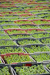 Pak Choi seedlings in crates