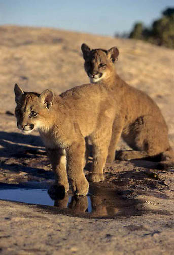 Mountain Lion or Cougar, (Felis concolor) Cubs standing at water hole. Moab, Utah. Captive Animal.