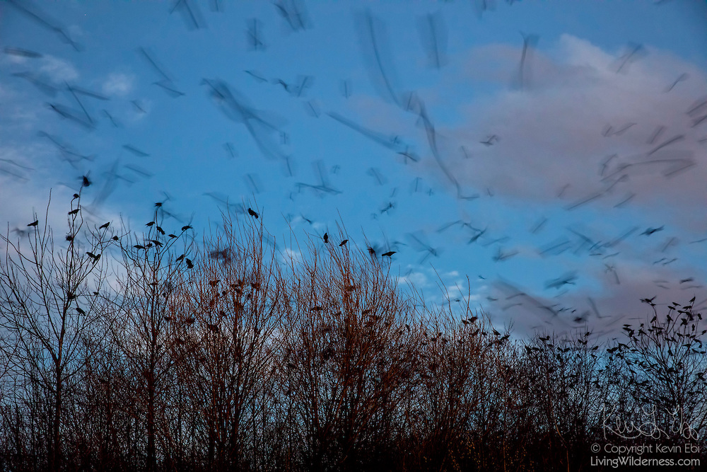 Thousands of American crows (Corvus brachyrhynchos) approach their nightly roosting location in Bothell, Washington. An estimated 15,000 crows use the roost each night in the fall and winter months. A long camera exposure captures the motion of the crows as they approach the roost.
