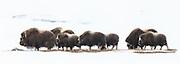 A herd of muskox in winterlandscape at Dovre, Norway | En flokk med moskusokser i vinterlandskap på Dovrefjell.